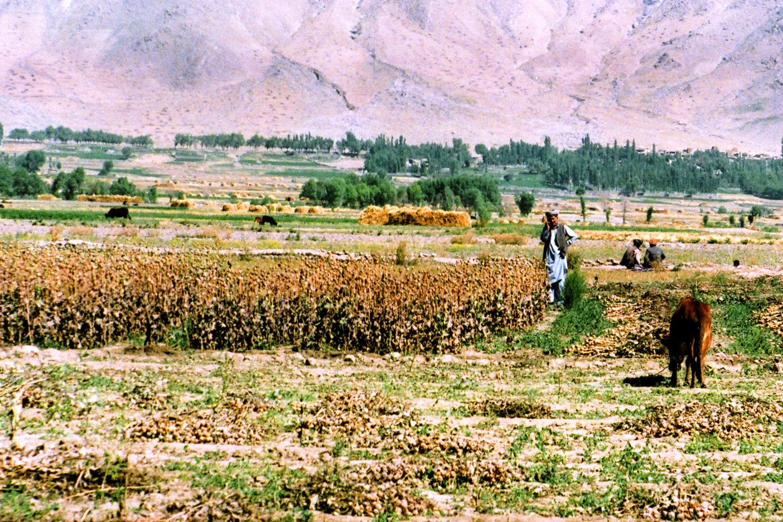 Уборка маковой «соломки», Бадахшан, улусволи Хаш. Фото А.А. Князева август 2005 года.